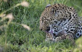 Ximungwe Leopard Groom Jt