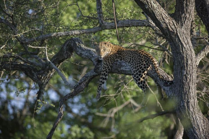 Ximungwe Leopard Knobthorn Jt