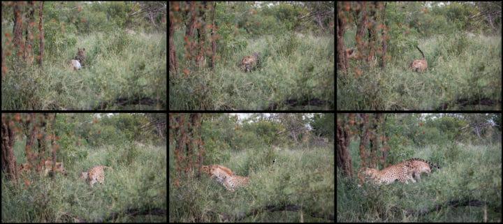 Hyena Chase Tamboti Leopard Jt