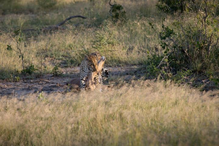 Tamboti Leopard Vs Hyena Jt 4