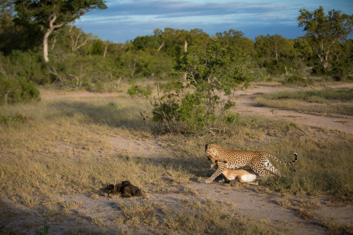 Tamboti Leopard Vs Hyena Jt 6