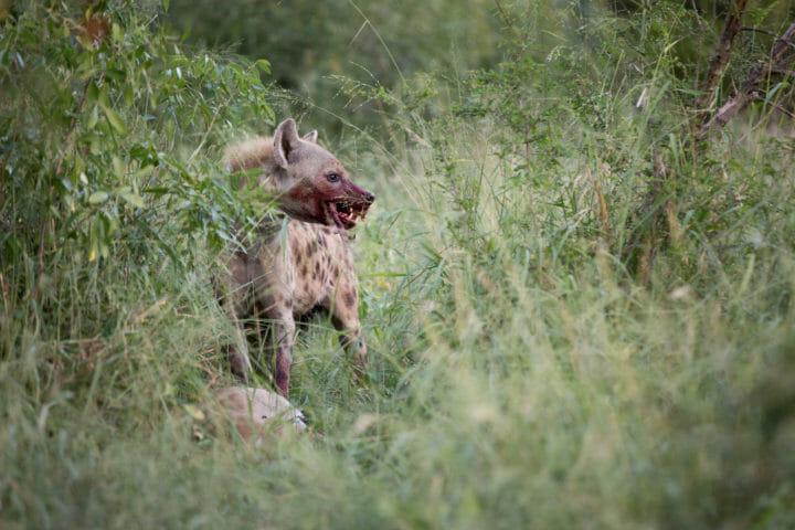 Tamboti Leopard Vs Hyena 2j T 2