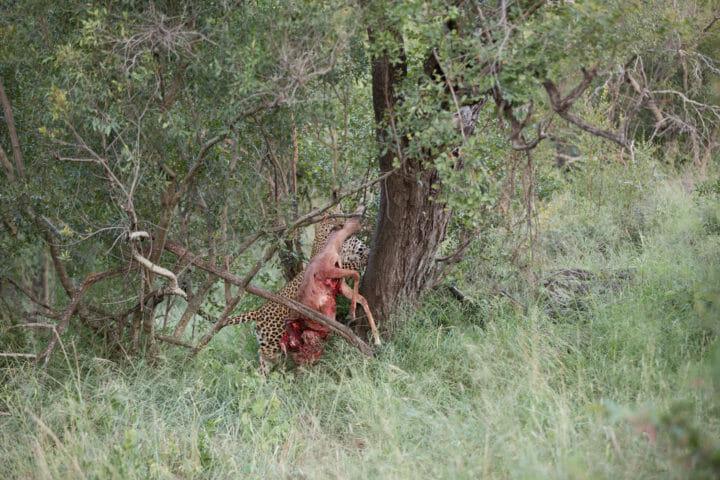 Tamboti Leopard Vs Hyena 2j T 3