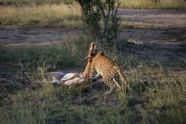 Tamboti Leopard Vs Hyena Jt 2