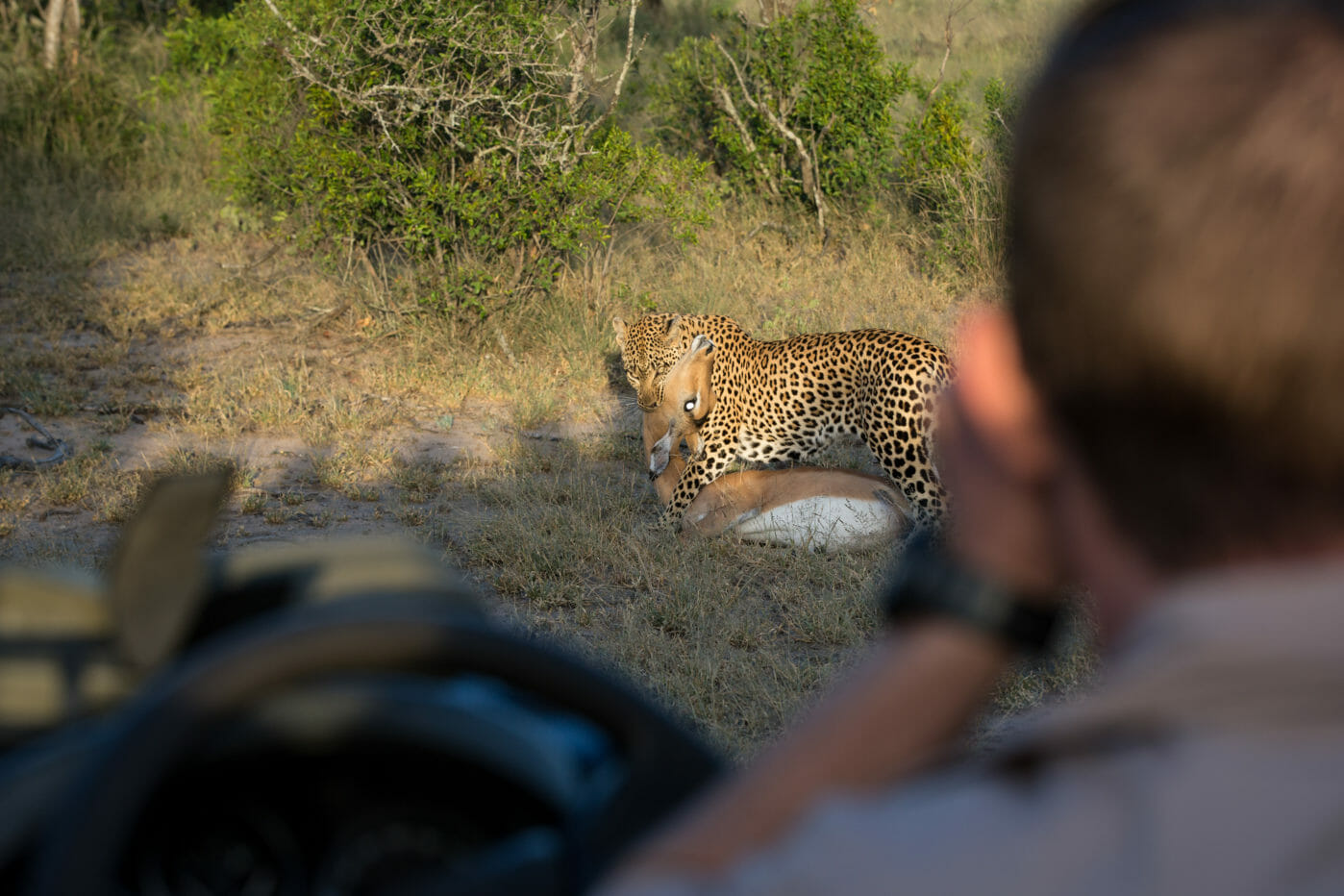 Tamboti Leopard Vs Hyena Jt 7