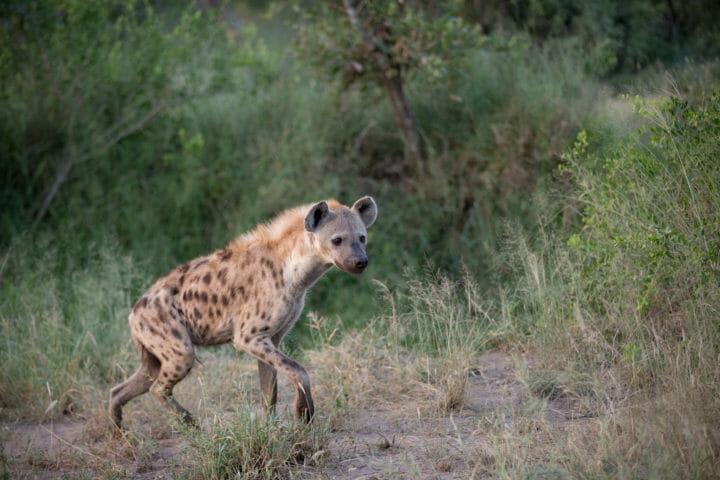 Tamboti Leopard Vs Hyena Jt 10