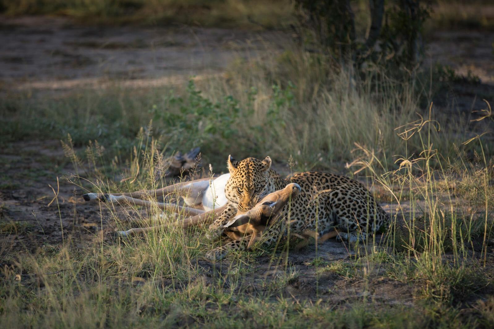 Tamboti Leopard Vs Hyena Jt