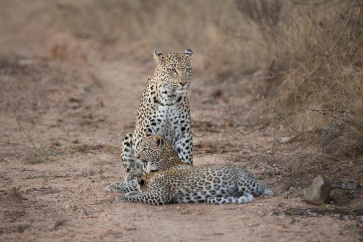 Nkoveni Cubs Leopard Jt