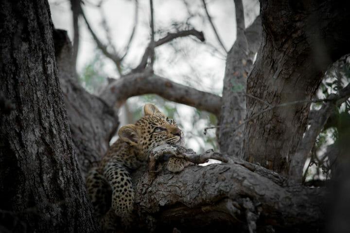Tamboti Cub Leopard Jt