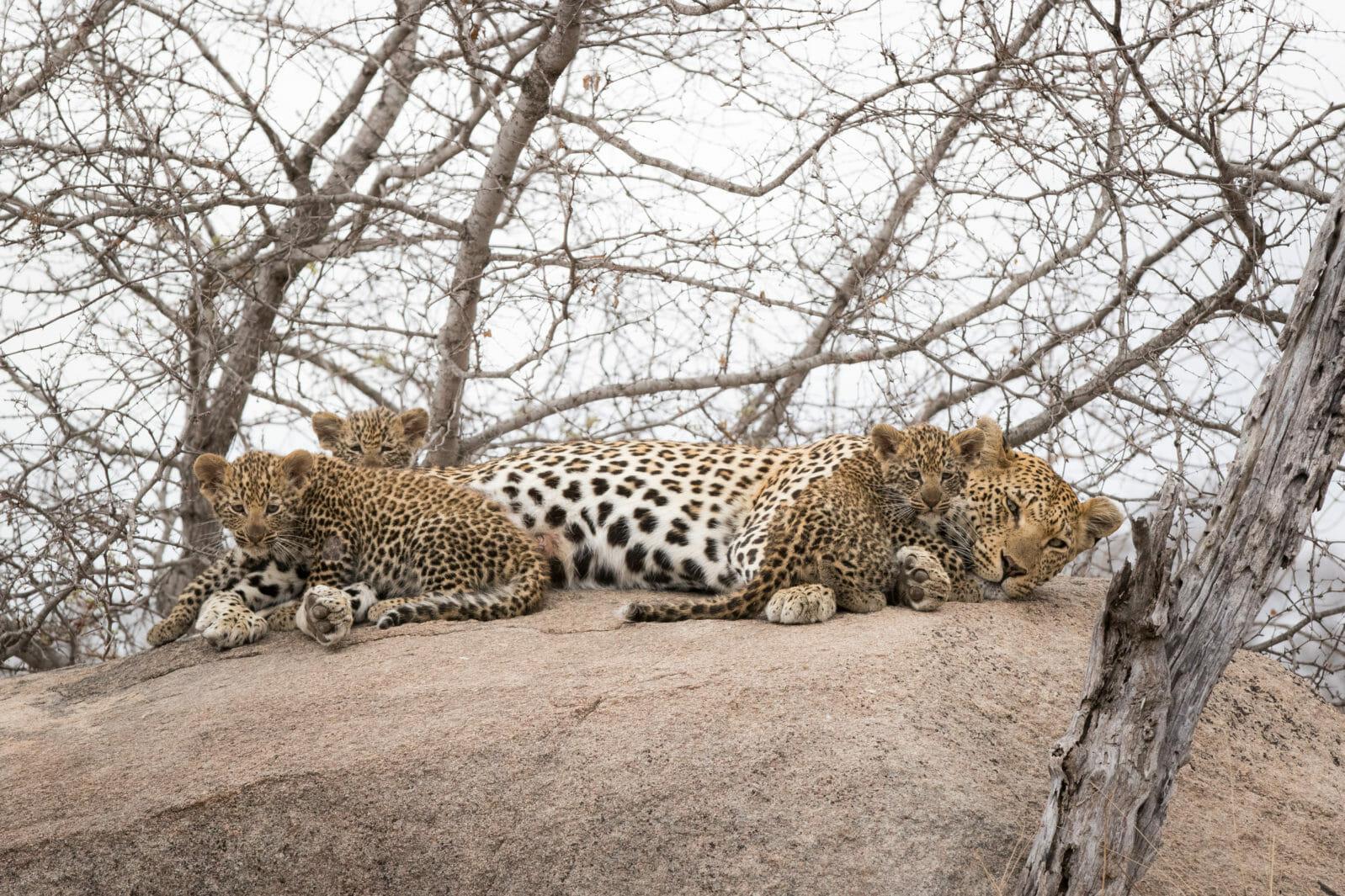 Mashaba Leopard Cubs Jt