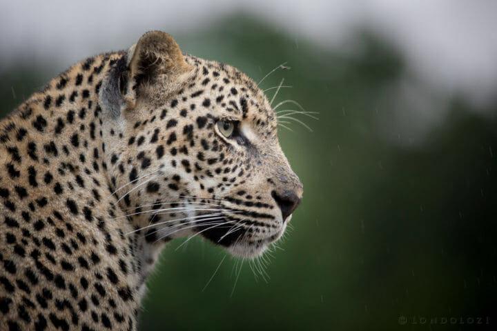 Ndzanzeni Leopard Jt