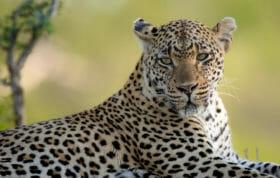 Tamboti Leopard Jt