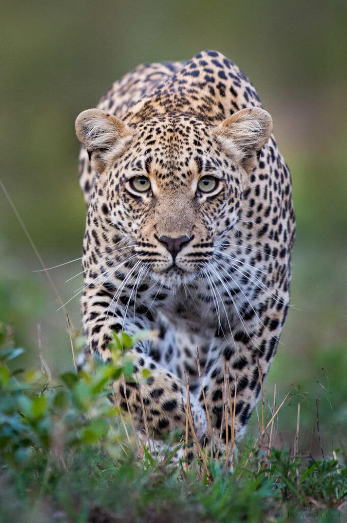 Ndzanzeni leopard DD