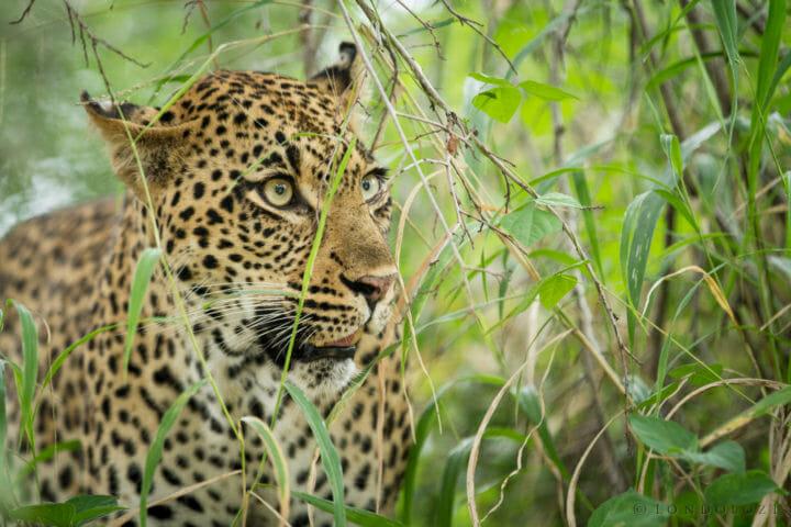 Tamboti Leopard Grass Jt