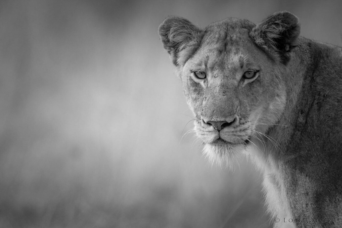 Ntsevu Lioness Bw Jt