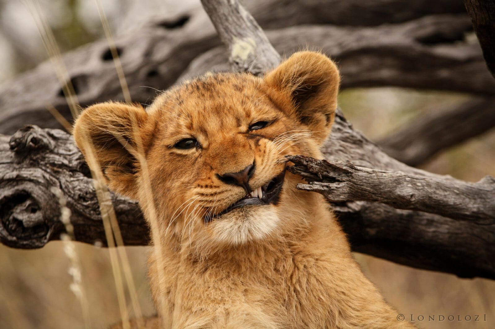 Tsalala Lion Cub Chew Leadwood Jt