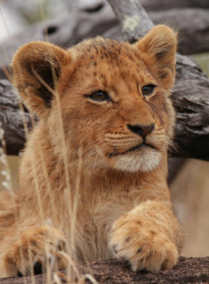 Tsalala Lion Cub Jt