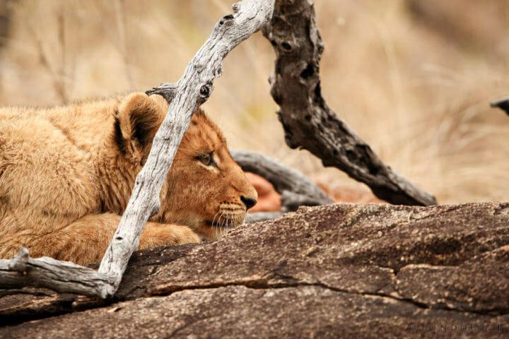 Tsalala Lion Cub Rock Jt