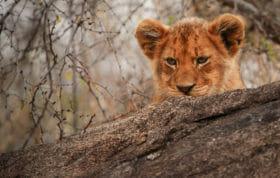 Tsalala Lion Cub Rocks Jt