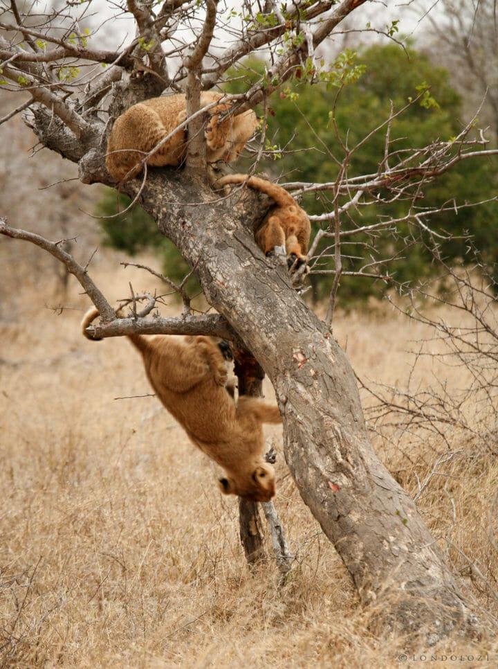 Tsalala Lion Cub Tree Jt