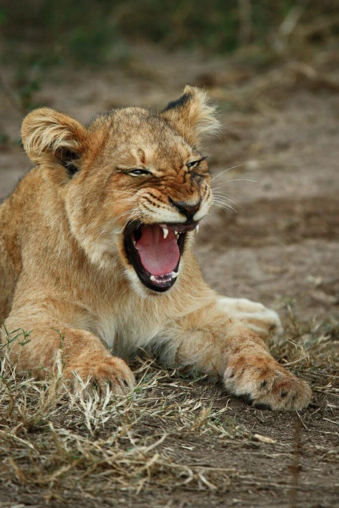 Tsalala Lion Cub Yawn Jt