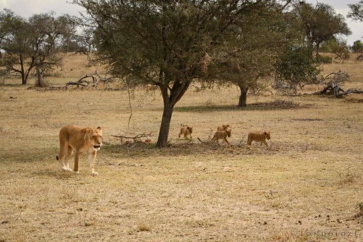 Tsalala Lion Cubs Jt