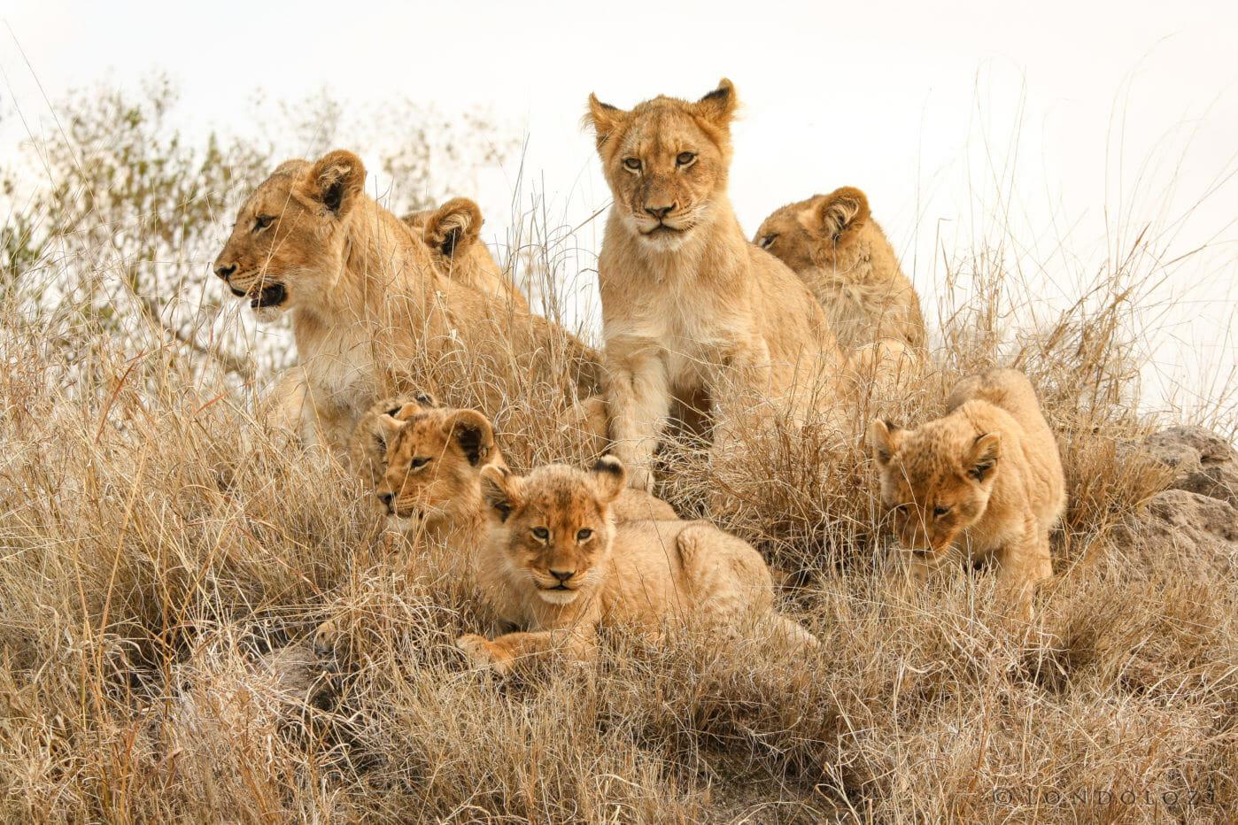Tsalala Lion Cubs Mound Jt