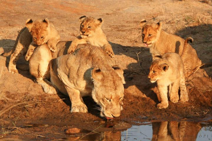 Tsalala Lion Cubs Play Jt