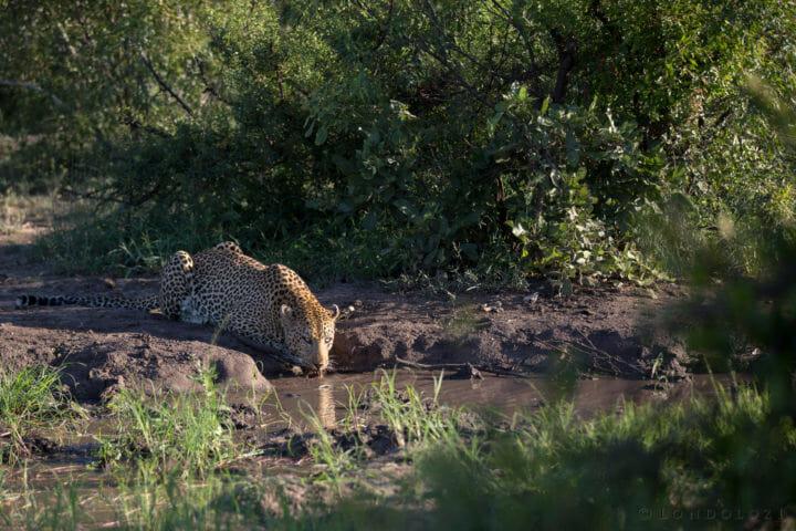 Anderson Leopard Drink Jt