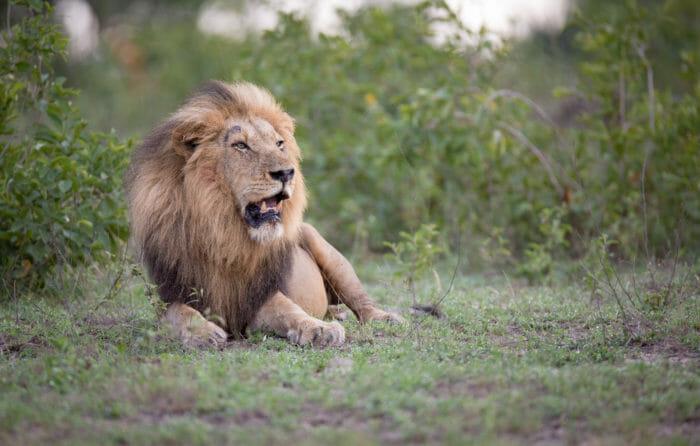 Birmingham Male Lion Jt
