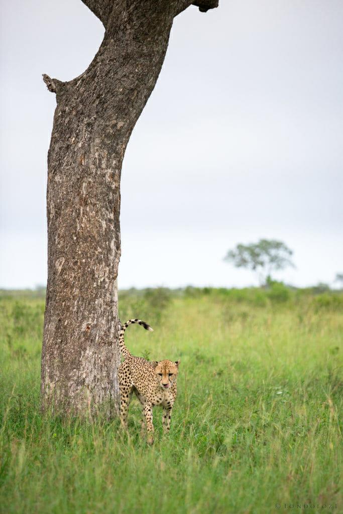 Cheetah Scent Mark Jt
