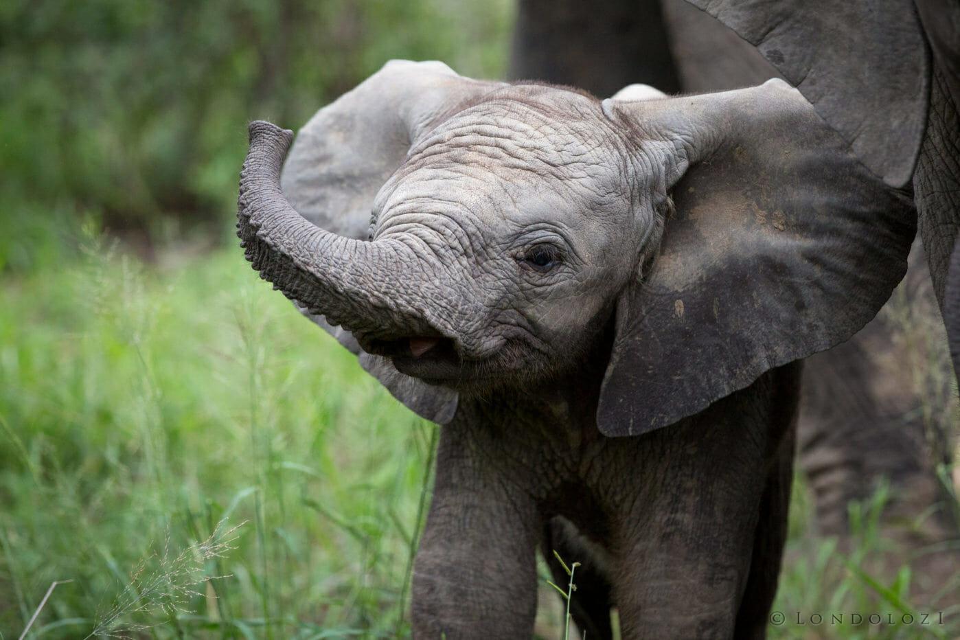 Elephant Calf Jt