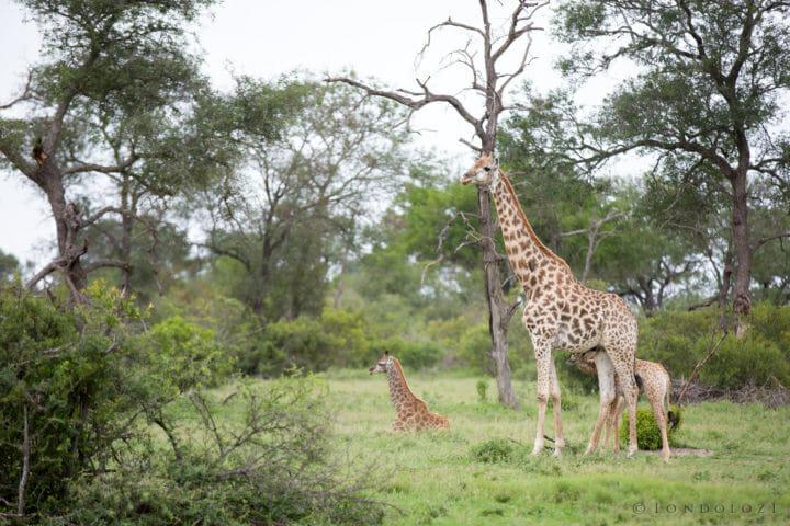 Giraffe Nurse Jt