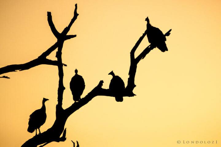 Guineafowl Silhouette Rj