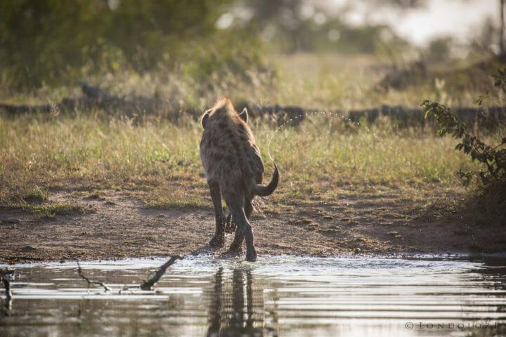 Hyena Tail Flick Jt