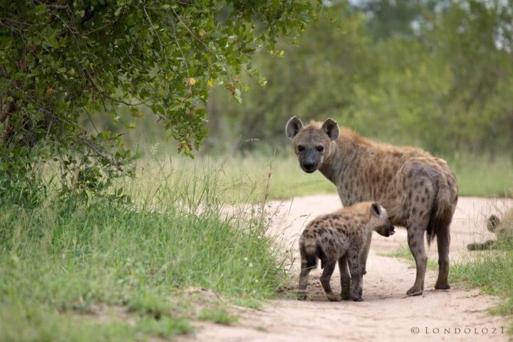 Hyenas Jt