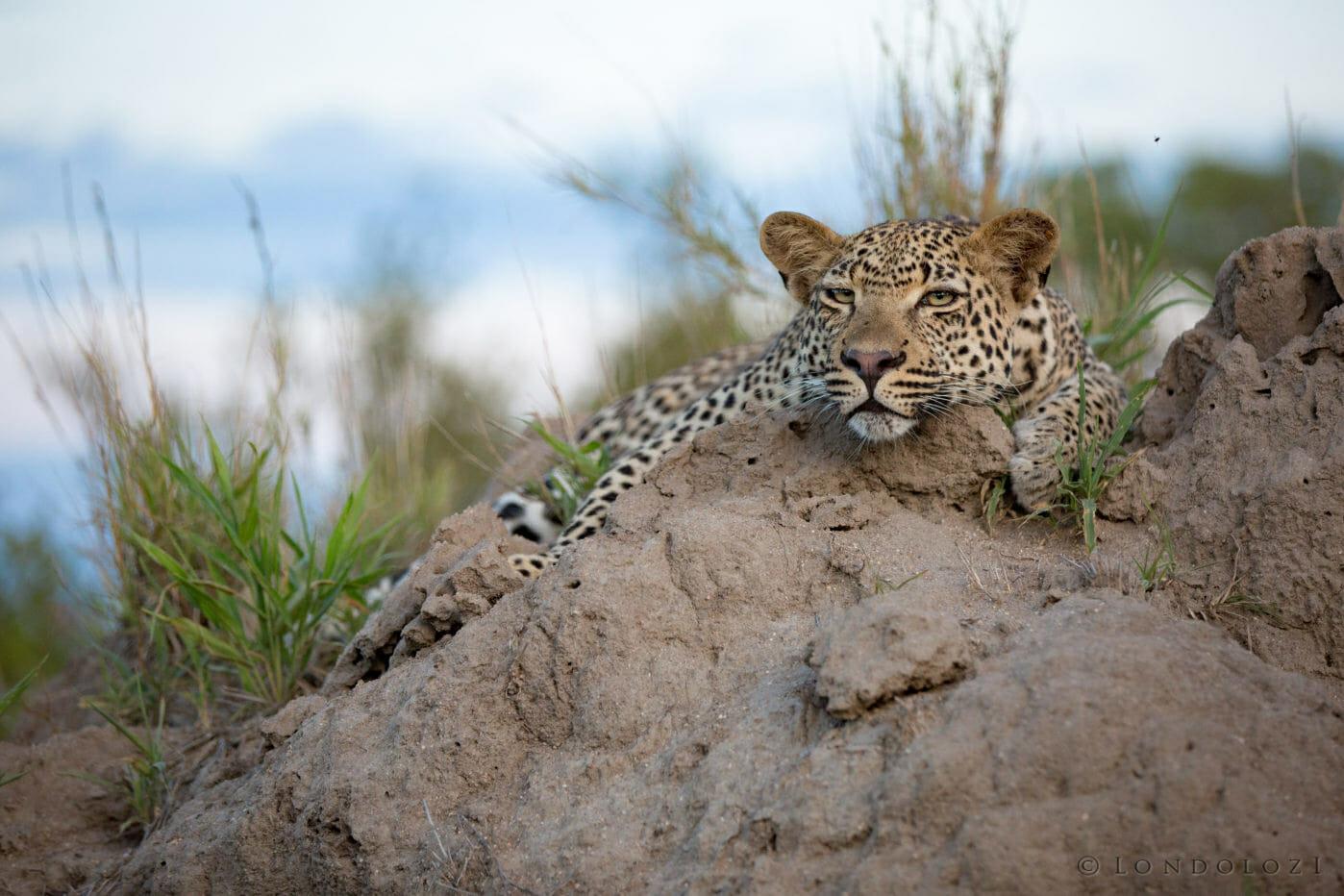 Ndzanzaeni Young Male Leopard Jt