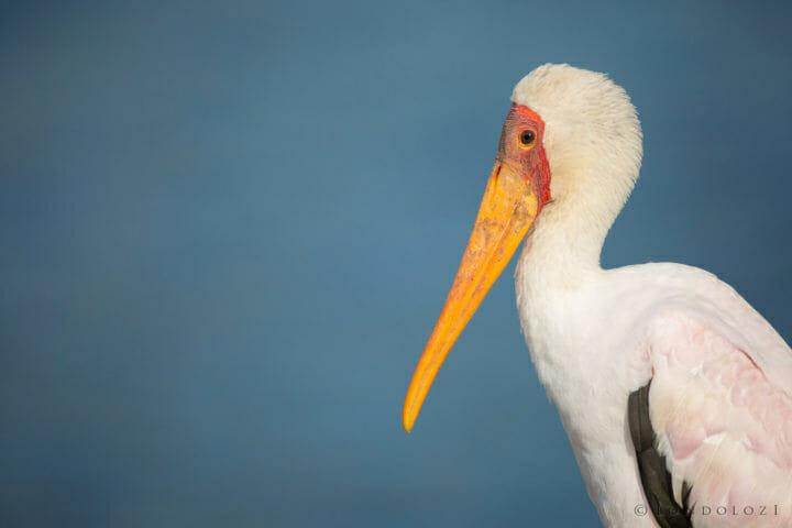 Yellow Billed Stork Jt