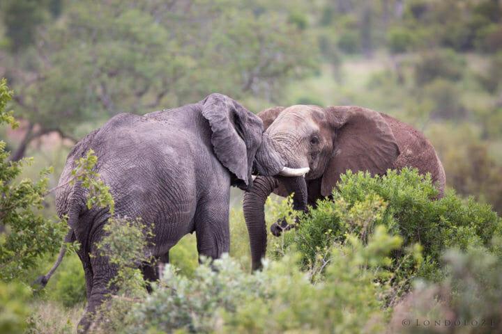 Elephant Bulls Jt1