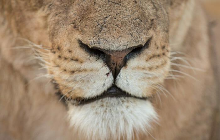 Mhangeni Lioness Id 3 Jt