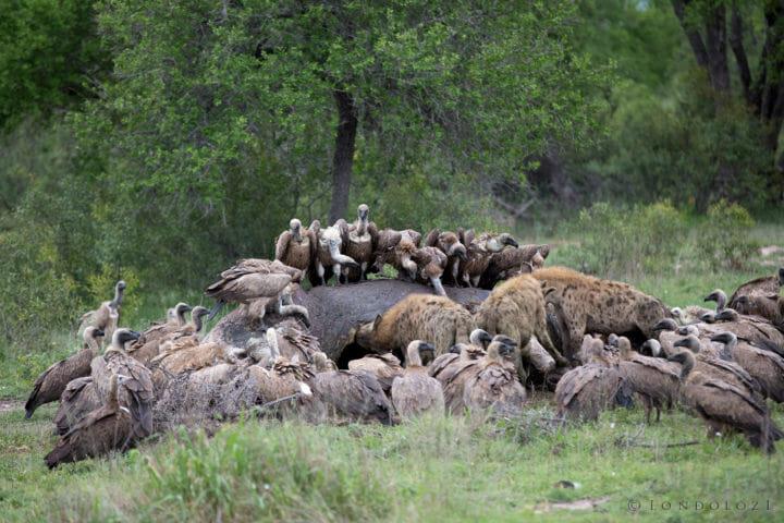 Hippo Carcass Vultures Hyena Jt