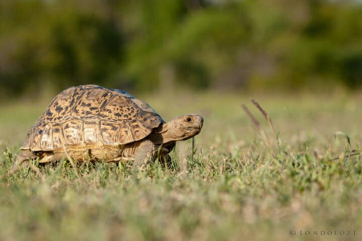 Leopard Tortoise 2 Jt