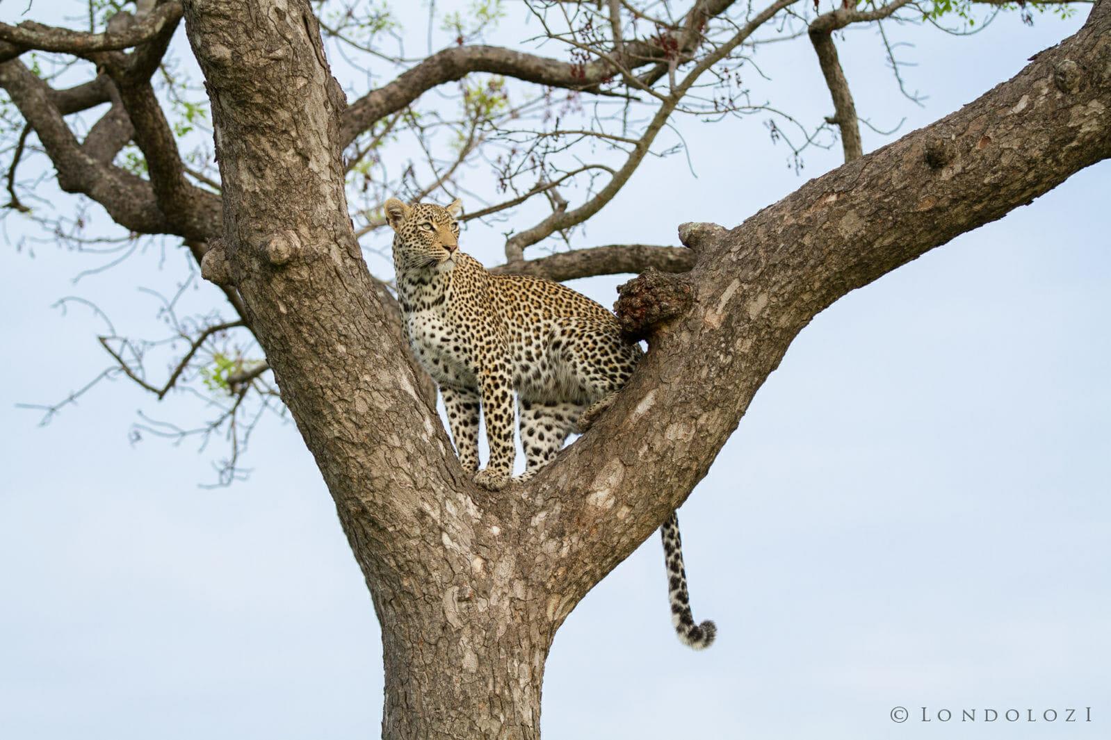 Nanga Leopard Jt