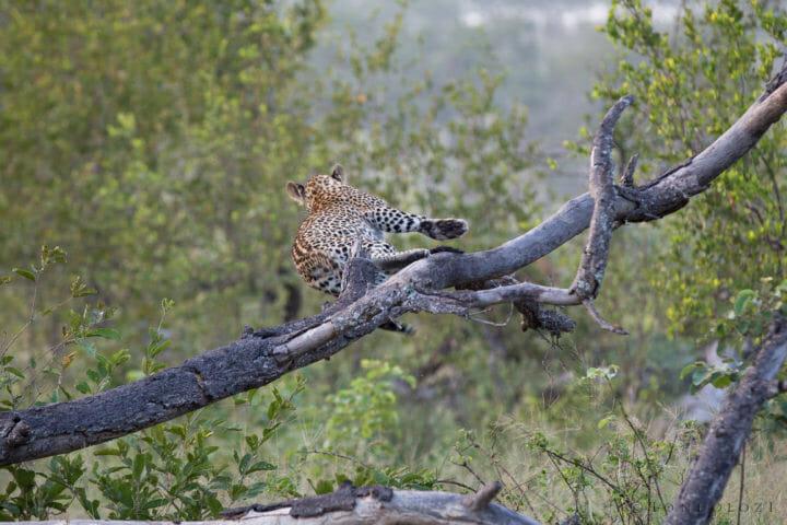 Tamboti Leopard Cub Fall Jt