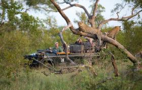Tamboti Leopard Cub Guests Land Rover