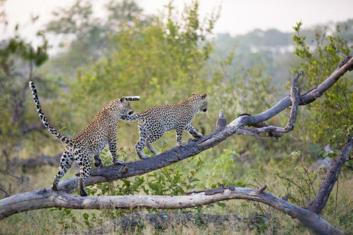Tamboti Leopard Cub Tails Jt