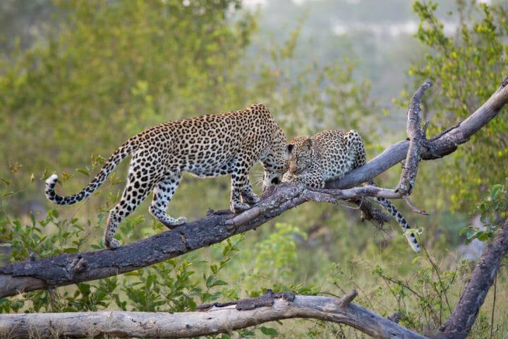 Tamboti Leopard Cub Together Jt