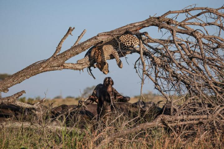 Nweti Male leopard PT