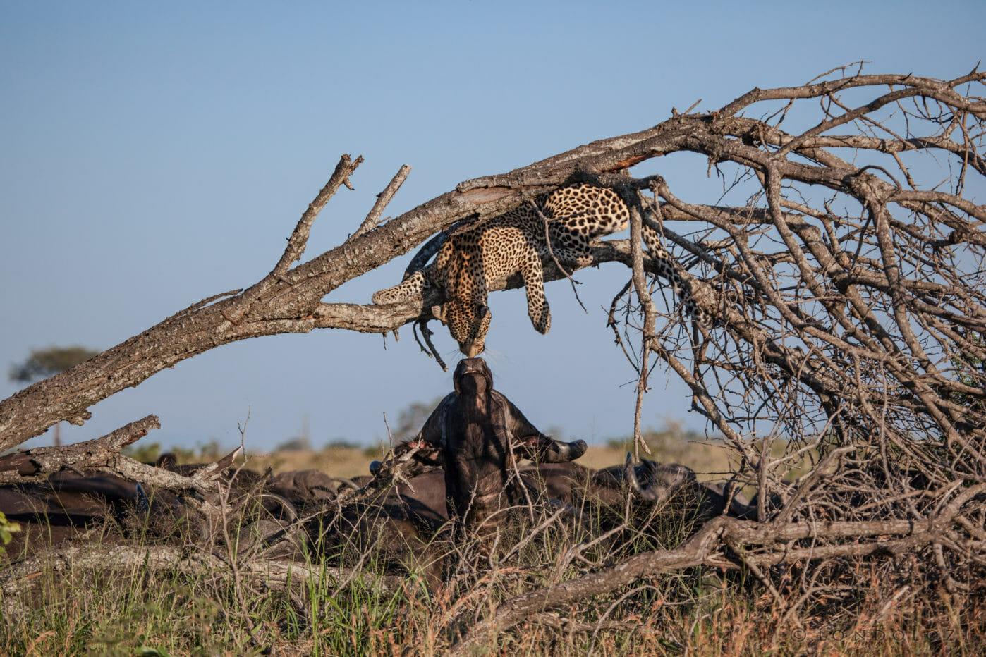 Nweti male leopard buffalo PT