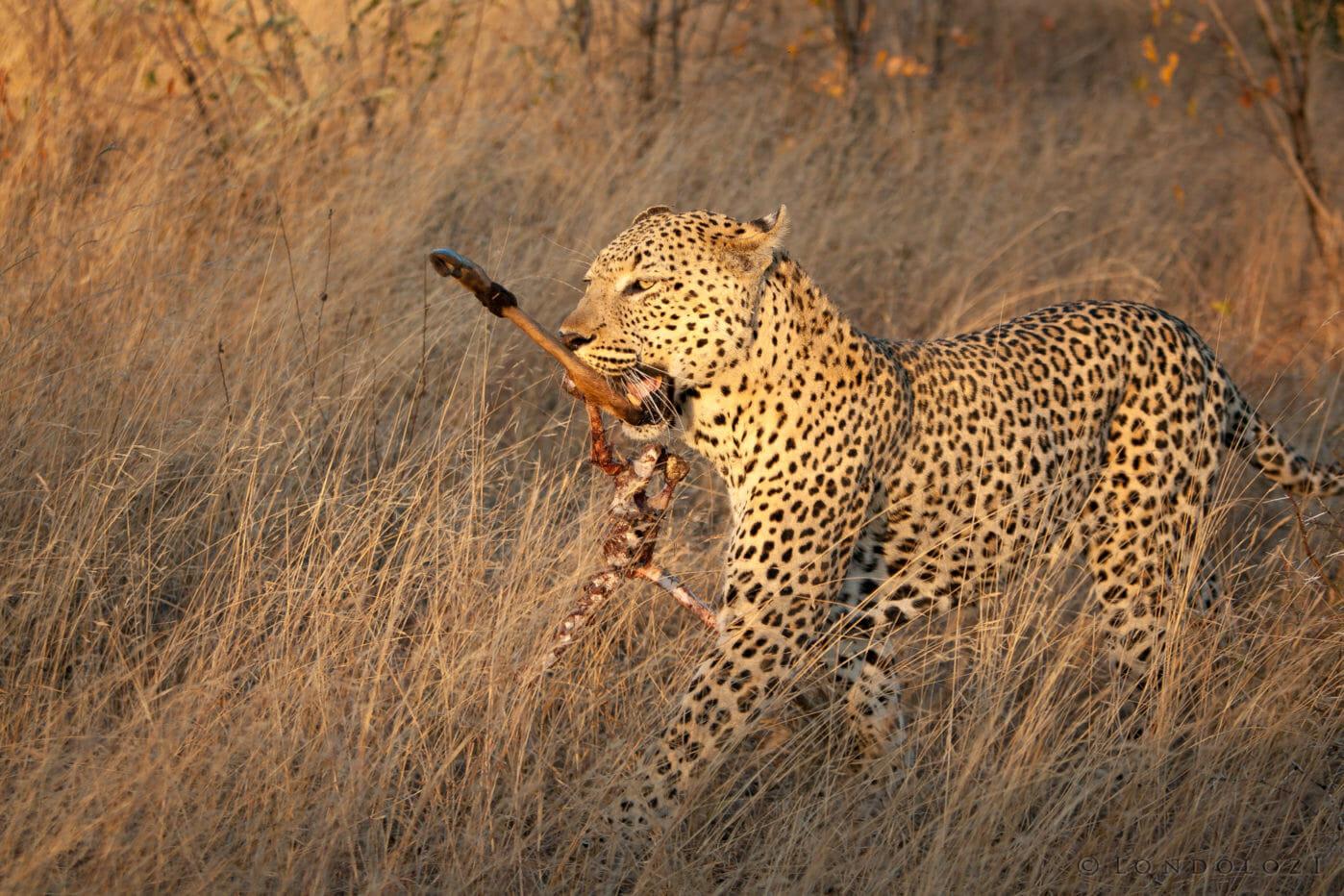 Camp Pan Leopard Scavenge Jt